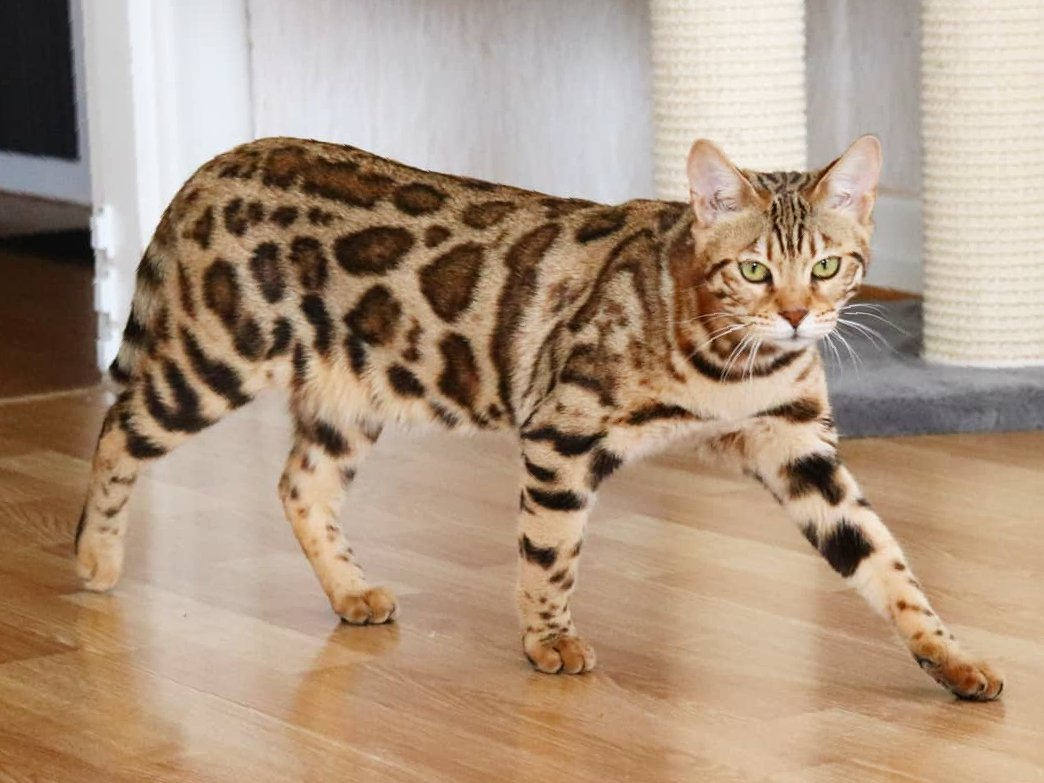 Bengal Katt Vuxen